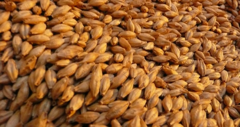 healthy barley - the underrated nutrition powerhouse
