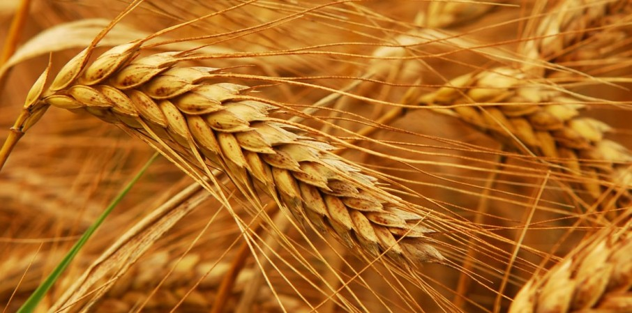 What happened to the healthier original Indian wheat?