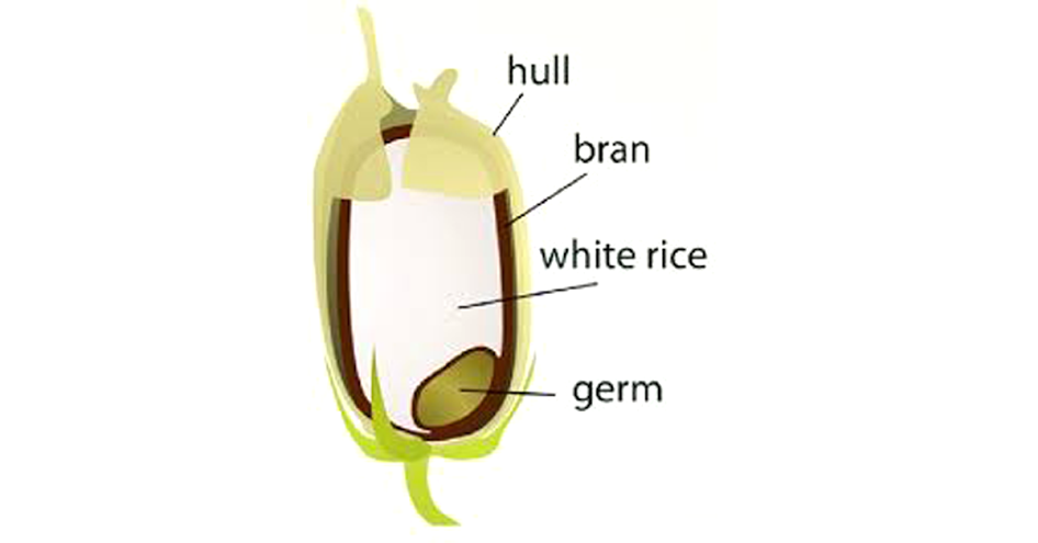 Rice grain structure
