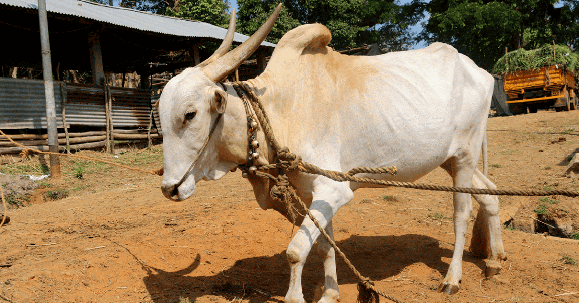 Antibodies produced by cows could provide potential cure for HIV in humans